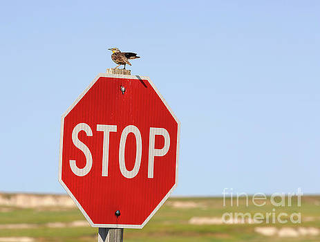 Western Meadowlark singing on top of a stop sign by Louise Heusinkveld