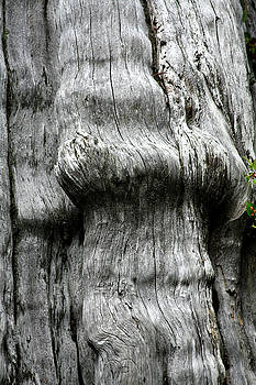 Christine Till - Western Red Cedar - Thuja plicata - Olympic National Park WA