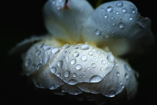 Wet flower by Alex Land