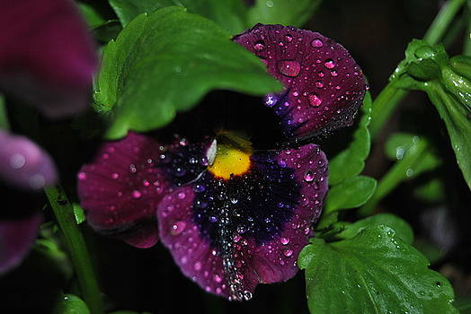Wet petals by Christopher Rohleder