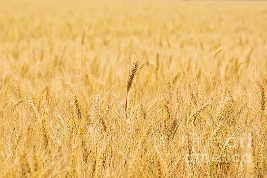 Scott Pellegrin - Wheat Field