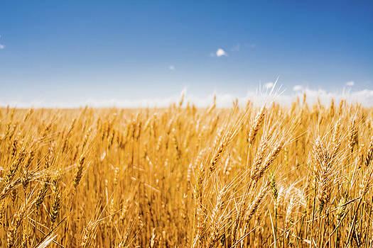 Wheat by Nathan Hillis