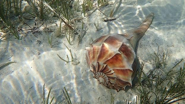 Whelk Sea Shell by Carol McGunagle