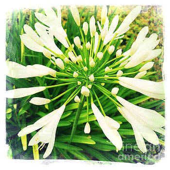 White Allium by Nina Prommer