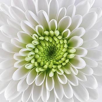 White and Green  Chrysanthemum by Jim Hughes