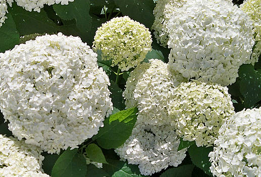 White and Lime Hydrangeas by Shirley OBrien
