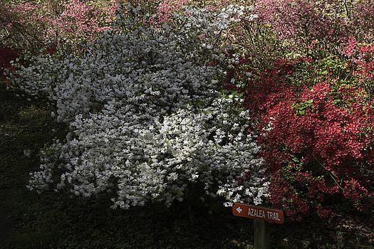 Teresa Mucha - White and Red Azaleas at Happy Hollow Gardens
