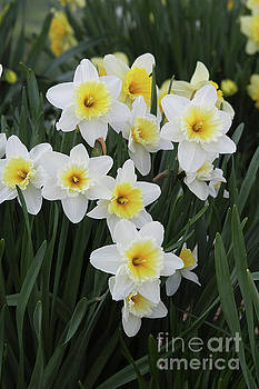 White And Yellow Daffodils by Judy Whitton