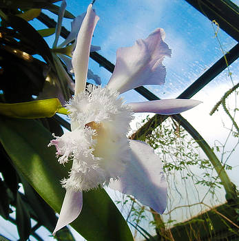 White Angel Orchid by J R Baldini M Photog Cr
