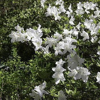 Teresa Mucha - White Azalea Blooms Squared