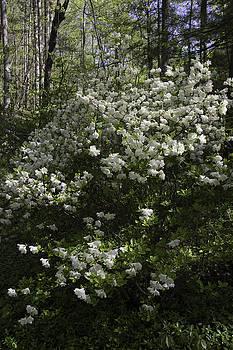 Teresa Mucha - White Azaleas at Happy Hollow Gardens
