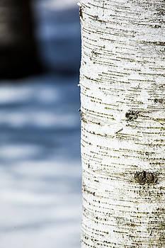 Karol  Livote - White Birch Abstract