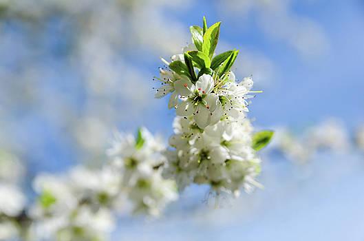 White Blossom by Jeremy Sage