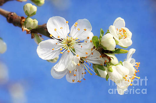 LHJB Photography - White blossoms blooming..