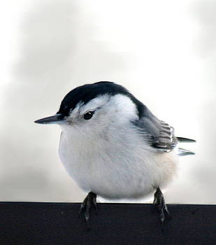 Diane Merkle - White Breasted Nuthatch