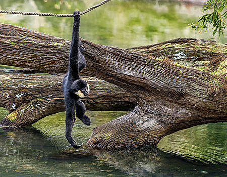 White Cheek Gibbon hanging for a drink by Tito Santiago