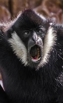 White Cheek Gibbon Male by Tito Santiago