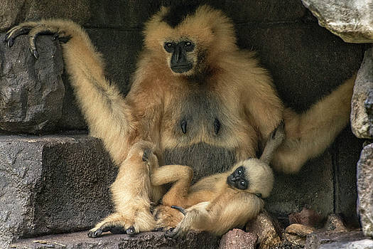 White Cheek Gibbon Mother and baby resting by Tito Santiago