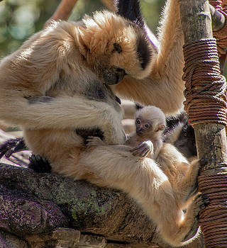 White Cheek Gibbon Mother with 2 week old infant potty check by Tito Santiago
