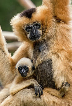White Cheel Gibbon mother and baby both holding on by Tito Santiago