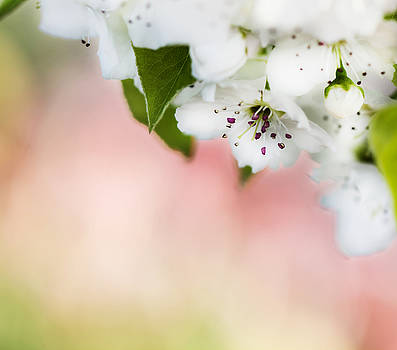 White Cherry Blossom Flowers by Tracy Winter