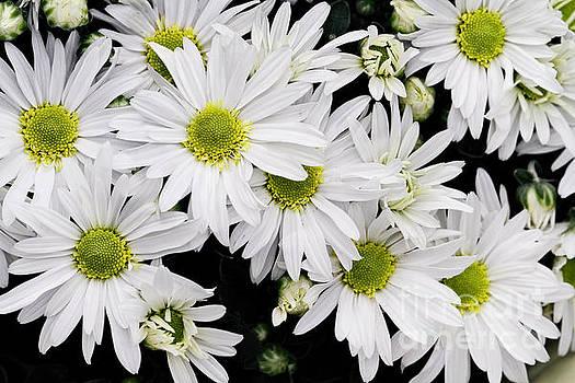 White Chrysanthemums by Stephanie Frey