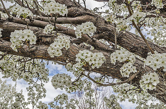 White Crabapple Blossoms by Sue Smith