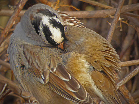White Crowned Sparrow by Robert Geary