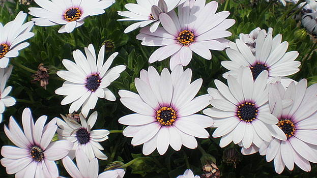 White Daisies by Maria Mills