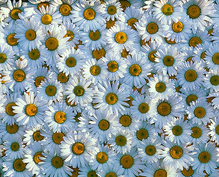 White daisy flowers 2 by David Nunuk