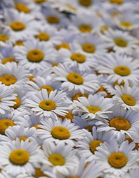White daisy flowers by David Nunuk