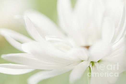 LHJB Photography - White Daisy Petals