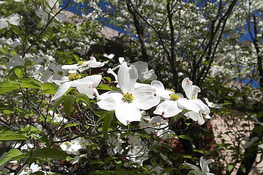White Dogwood Cascade by Michele Myers