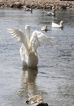 Tracey Harrington-Simpson - White Duck Flapping Wings on Water