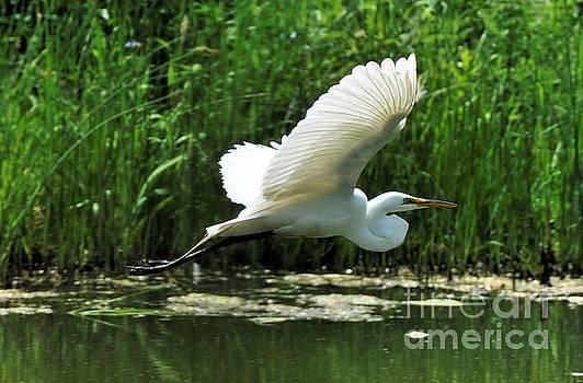 White Egret in Flight by Elaine Manley