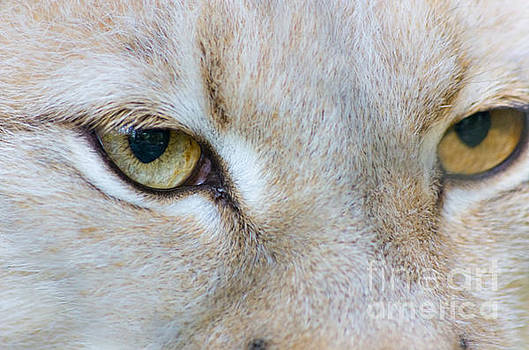 White Eurasian Lynx close-up view emotion of eyes by Photo Captures by Jeffery