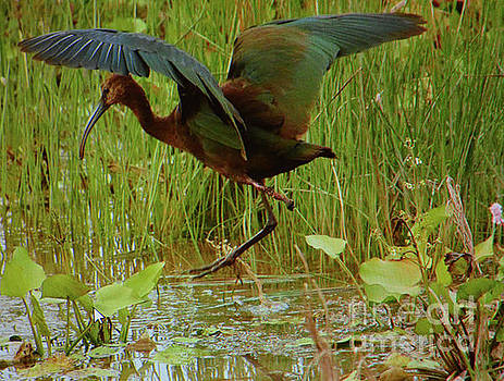 White Faced Ibis 2 by Ruth Housley