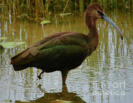 White Faced Ibis  by Ruth Housley