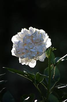 White Flower by Gillis Cone