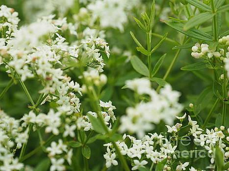 White Flowers by Adrienne Franklin
