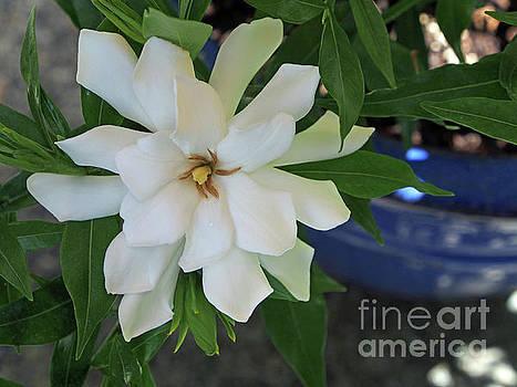 Gardenia  by Jacklyn Duryea Fraizer