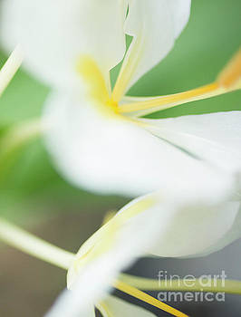 White Ginger Macro by Charmian Vistaunet