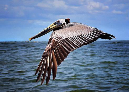 White Head Pelican by Steven Michael