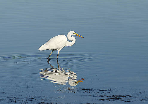 White Heron reflected by Barry Culling