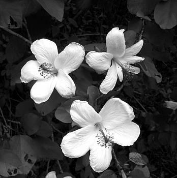 White Hibiscus Flowers by Halle Treanor