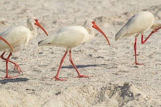 White Ibis on Marco Island by Toni Thomas