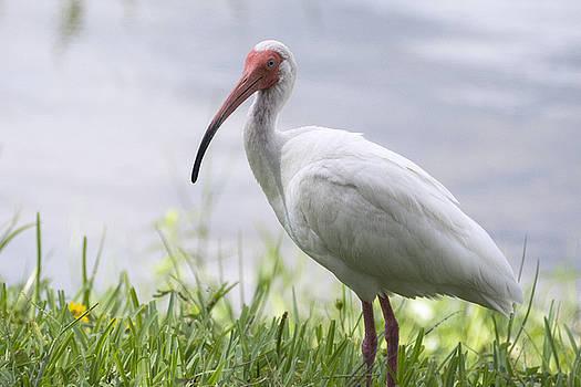 Saija  Lehtonen - White Ibis