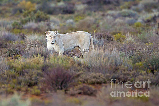 White Lioness by Jean-Luc Baron