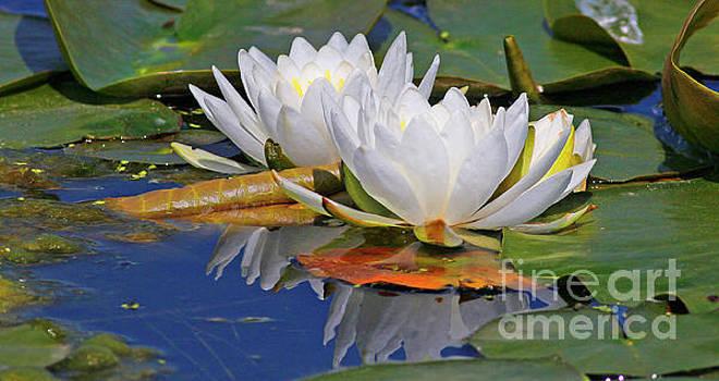 White Lotus by Debbie Parker