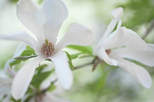 White Magnolia Blossom by Jenny Rainbow